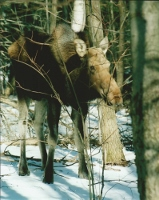 At Scarborough lottery, 60,000 vie for a shot to bag a Maine moose