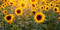 Sunflower Fest a no go, but folks can still browse and buy