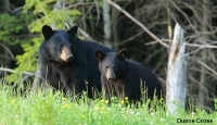 Peak time for bear-human contacts past, but caution still urged