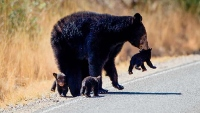 Spike in cub orphaning concerns state's bear biologist
