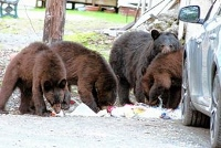 Your voice: If you like bears, let them be bears, not scrounges