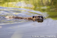 Trapping enthusiasts help keep beaver populations at healthy levels