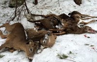 Biologists warn against feeding deer despite rough winter