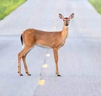 Motorists should be aware of rutting season dangers