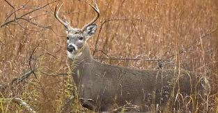 Nonuse of urine based lures will help keep deer populations free of CWD