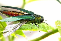 Emerald ash borer proving a potent pest for N.H., Maine forestry officials