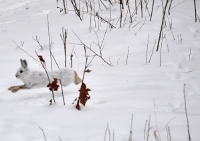 Beagle use in hare hunting focus of January workshop