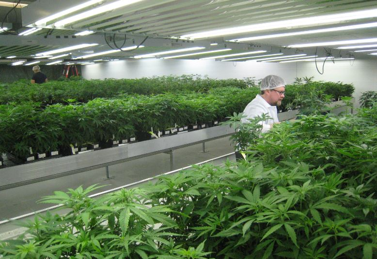 Fire hazard at marijuana factory eyed by selectmen