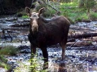 Public invited to submit moose pictures to aid survey