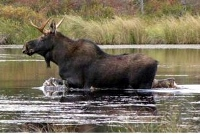 If you want to hunt moose in Oct. sign up for lottery now