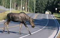 Fish and Game urges motorists: Keep eye out for moose
