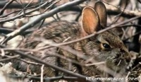 Vols sought to aid restoration of cottontail habitat