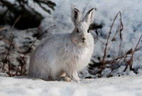 Snowshoe hare hunting goes to dogs for Jan. workshop