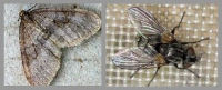 Finally, a fly in the ointment for marauding winter moths